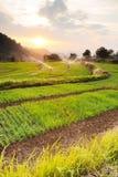 Paesaggio dell'azienda agricola verde del riso Immagine Stock Libera da Diritti