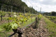 Paesaggio dell'uva Fotografia Stock Libera da Diritti