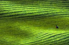 Paesaggio della base del tè nero dell'unità di elaborazione di Guizhou di cinese fotografie stock