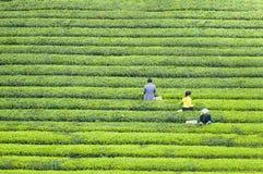 Paesaggio della base del tè nero dell'unità di elaborazione di Guizhou di cinese immagini stock libere da diritti