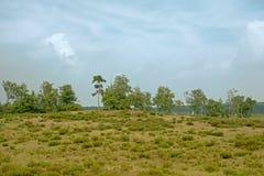 Paesaggio della brughiera di Kalmthout con la betulla ed i pini un giorno nebbioso nuvoloso immagini stock libere da diritti