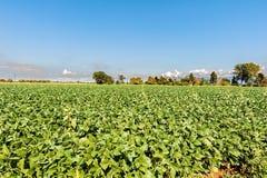 Paesaggio della campagna Campo della soia del cielo blu ancora Immagine Stock Libera da Diritti