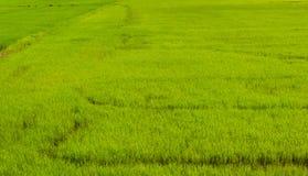 Paesaggio della campagna del giacimento del riso Fotografia Stock
