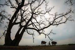 Paesaggio della campagna del Vietnam con il grande albero di ceiba di fioritura del bombax e un agricoltore con la mucca che camm Fotografie Stock Libere da Diritti