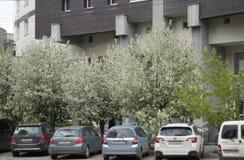 Paesaggio della citt? Automobili nel parcheggio fuori della costruzione sulla via 61 di Belinsky Fiori di melo fotografia stock libera da diritti