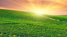 Paesaggio della collina della vigna alla luce di mattina Fotografie Stock Libere da Diritti