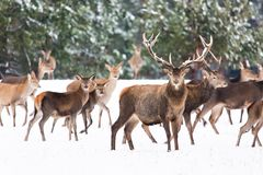 Paesaggio della fauna selvatica di inverno con il cervus elaphus nobile dei cervi Molti cervi nell'inverno Cervi con i grandi cor fotografia stock libera da diritti
