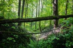 Paesaggio della foresta, burrone nel legno con un albero caduto sui precedenti degli alberi Fotografia Stock