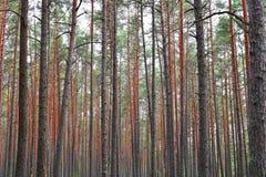 Paesaggio della foresta con i pini immagine stock libera da diritti