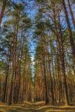 Paesaggio della foresta con i pini ed il sentiero per pedoni alti immagini stock libere da diritti