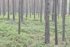 Paesaggio della foresta con il pino fotografia stock libera da diritti