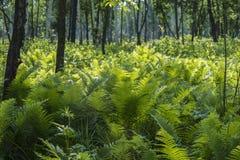 Paesaggio della foresta con la felce Fotografia Stock Libera da Diritti
