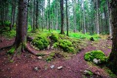 Paesaggio della foresta con le alte conifere e le rocce muscose, parco nazionale di Durmitor, Montenegro Fotografie Stock
