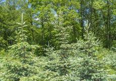 Paesaggio della foresta con le conifere Fotografia Stock