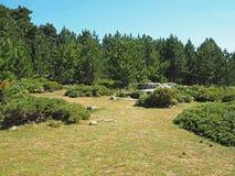 Paesaggio della foresta del pino del prato di verde dell'alta montagna in corsic Immagini Stock