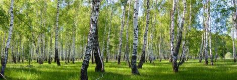 Paesaggio della foresta della betulla di estate Immagine Stock