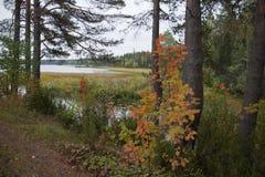Paesaggio della foresta di autunno con gli alberi ed il fiume gialli Fotografia Stock