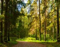 Paesaggio della foresta di autunno con gli alberi nella foresta nel giorno soleggiato di autunno Fotografia Stock