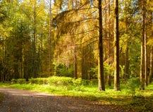 Paesaggio della foresta di autunno con gli alberi nella foresta in tempo soleggiato di autunno Fotografia Stock Libera da Diritti