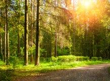 Paesaggio della foresta di autunno con gli alberi nella foresta in tempo soleggiato di autunno Immagine Stock Libera da Diritti