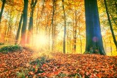 Paesaggio della foresta di autunno con i grandi alberi e suolo coperto da falle Fotografie Stock