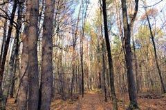 Paesaggio della foresta di autunno con i tronchi alti delle latifoglie Giorno pieno di sole di autunno La Russia immagini stock