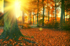 Paesaggio della foresta di autunno con il grande albero e suolo coperto tramite caduto Immagini Stock