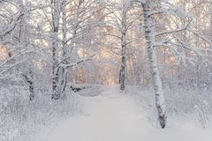 Paesaggio della foresta di inverno Bella mattina di inverno in una betulla innevata Forest Snow Covered Trees In l'inverno Forest Immagine Stock Libera da Diritti