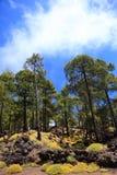 Paesaggio della foresta di Tenerife sul teide Fotografia Stock Libera da Diritti