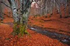Paesaggio della foresta Foresta del faggio di autunno con molti tronchi di albero rossi caduti della luce e del fogliame Il bosch Fotografia Stock