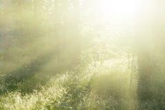 Paesaggio della foresta nell'alta chiave Immagine Stock