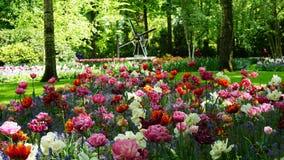 Paesaggio della molla di stordimento, giardino famoso di Keukenhof con i tulipani freschi variopinti, immagini stock