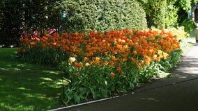 Paesaggio della molla di stordimento, giardino famoso di Keukenhof con i tulipani freschi variopinti, fotografia stock