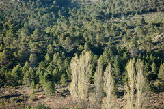 Paesaggio della montagna con gli alberi di pioppo nella priorità alta Immagine Stock Libera da Diritti
