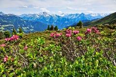 Paesaggio della montagna con le rose alpine nella priorità alta Valle di Zillertal Immagine Stock