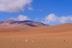 Paesaggio della montagna delle Ande con il pascolo le vigogna o dei guanaci, vicino a Paso Jama, il Cile, Sudamerica Fotografia Stock