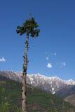 Paesaggio della montagna - pino in Himalaya Fotografia Stock Libera da Diritti