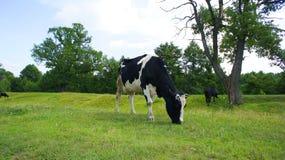 Paesaggio della mucca Immagine Stock