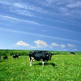Paesaggio della mucca Fotografia Stock