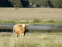 Paesaggio della mucca texana Fotografia Stock