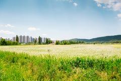 Paesaggio della natura del giacimento del grano saraceno al giorno di molla Fotografia Stock