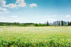 Paesaggio della natura del giacimento del grano saraceno al giorno di molla in Corea Fotografia Stock Libera da Diritti