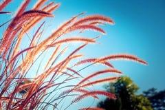 Paesaggio della natura di estate stagionale, fiore dell'erba nel prato con luce solare e cielo blu nei precedenti Focu morbido Fotografia Stock Libera da Diritti