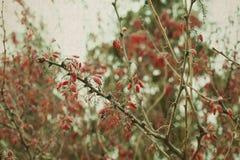 Paesaggio della natura di inverno Bacche rosse ramo del cotoneaster con le bacche Immagini Stock