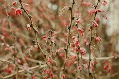Paesaggio della natura di inverno Bacche rosse ramo del cotoneaster con le bacche congelato Fotografia Stock