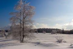Paesaggio della neve di inverno, albero di betulla, pini, alte paludi, Belgio Immagini Stock Libere da Diritti