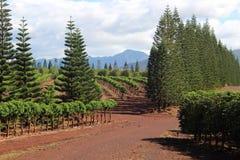 Paesaggio della piantagione di caffè Fotografia Stock