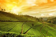 Paesaggio della piantagione di tè Fotografia Stock