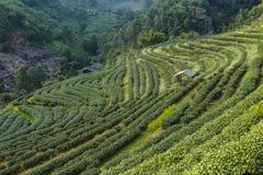 Paesaggio della piantagione di tè Immagine Stock Libera da Diritti