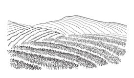 Paesaggio della piantagione di tè Immagini Stock Libere da Diritti